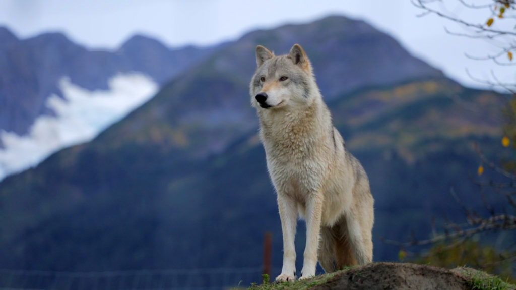 wolf_alaska